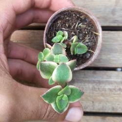 Crassula pellucida rubra variegata (vaso6)