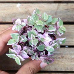 Callisia repens variegata (tostão variegata - vaso6)