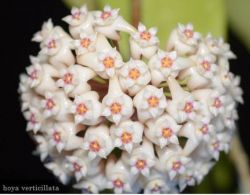 Hoya verticillata (vaso15)
