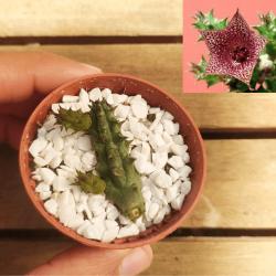 Huernia whitesloanea (1 haste - planta de porte pequeno)