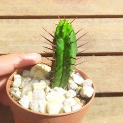 Euphorbia enopla (vaso7)