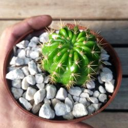 Notocactus sp. (Vaso11)