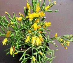 Hatiora salicornioides (vaso7)