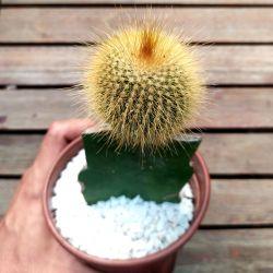 Eriocactus leninghausii (enxerto - vaso11)