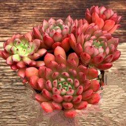 Graptoveria 'Pink Ruby' ('Bashful' com colônia de mudinhas - vaso9)