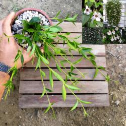 Columeia bambu (conodanthe gracilis - cuia13)