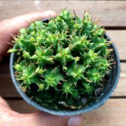 Euphorbia submammillaris f. pfersdorfii (vaso9)
