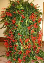 Columeia microphylla variegata (cuia13)