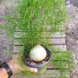 Bowiea volubilis (cebola ornamental - vaso15)