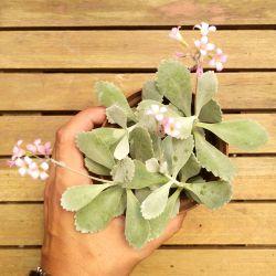 Kalanchoe pumila (várias mudas - vaso11)