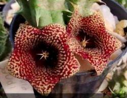 Huernia 'Saudi Arabica' (1haste - vaso6)