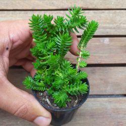 Crassula tetragona subsp. connivens (vaso6)