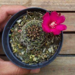 Lobivia (flor púrpura - vaso9)