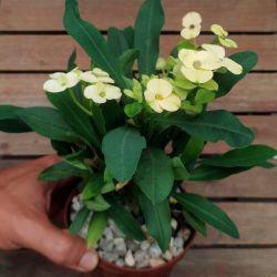 Euphorbia milii Amarela (planta compacta flor grande - vaso11)