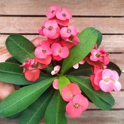 Euphorbia milii Vermelha (planta compacta flor grande - vaso11)