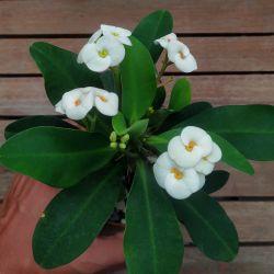 Euphorbia milii Branca (planta compacta flor grande - vaso11)
